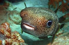 Pufferfish Paralyzes 11 Family Members in Brazil