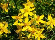 Konserwowanie ziół – metody – Zielicha Kitchen Witch, Green Kitchen, Begonia, Natural Remedies, Herbalism, Herbs, Nature, Flowers, Plants