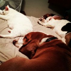 Basset Cat nap