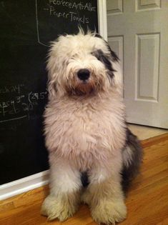 Old English Sheepdog – a lively, intelligent breed with a gentle nature Sheep Dog Puppy, Sheep Dogs, Bearded Collie, Old English Sheepdog, Kinds Of Dogs, Lovely Creatures, 8 Months, Zoology, Labradoodle