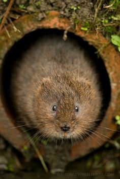 Eager Water Vole