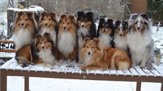 Shelties on a park bench during a walk in the snow. Sables, Tris and a Blue Merle