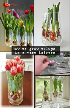 Read directions about how to grow tulips in a vase indoors. Read directions about how to grow tulips in a vase indoors. Indoor Flowers, Bulb Flowers, Flower Vases, Indoor Plants, Flower Diy, Hanging Plants, Tulips Flowers, Cactus Flower, Flower Beds