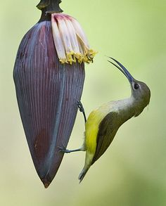 Pale Spiderhunter (dilutior), Orange-tufted Spiderhunter (flammifera)