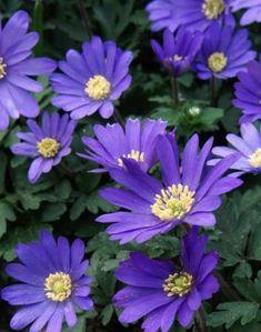 Spring Flowering Trees, Early Spring Flowers, Planting Raised Garden Beds, Flower Garden Plans, Garden Ideas, Anemone Flower, Peony, Fall Plants, Garden Plants