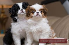 Japanese Chin~Cute