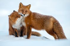Russian+Mining+Engineer+Takes+Work+Breaks+To+Capture+Gorgeous+Photos+Of+Arctic+Foxes