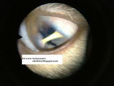 Zrost tęczówkowo-rogówkowy. ~ Okulistyka Zwierząt- anterior synechiae in cat