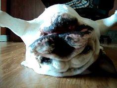 Funny Bulldog plays dead