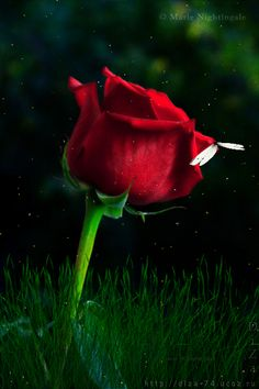 Magic rose by DiZa-74