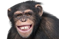 Apes are the closest cousins of man. Find out some interesting and amazing facts on apes. Smiling Animals, Smiling Faces, Happy Animals, Funny Animals, Primates, Short Jokes Funny, Asian Elephant, Funny Bunnies, Tigers