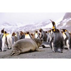Southern Elephant Seal weaned pup in colony of King Penguins Canvas Art - Martin Zwick DanitaDelimont (18 x 12)