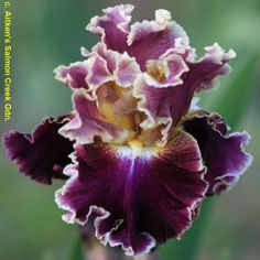 'Montmartre' - TB from Keith Keppel - Wister Medal winner in Exotic Plants, Exotic Flowers, Amazing Flowers, Beautiful Flowers, Iris Garden, Garden Plants, Purple Garden, Iris Flowers, Planting Flowers