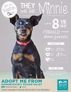MINI PINSCHER MIX DOG AVAILABLE FOR ADOPTION | Minnie A#: 117167 - Humane Society Silicon Valley - Milpitas, California Shelter Dogs, Animal Shelter, Rescue Dogs, Animal Rescue, Milpitas California, Dog Enrichment, Mini Pinscher, Foster Cat, Dog Training Classes