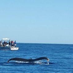 The whales are here!! Increíblemente ya se observan ballenas jorobadas en la bahía de cabo san lucas. #whalewatching #humpbacks #visitloscabos #visitbajasur #bajacaliforniasur #welcomeback #outdoorbajaexpeditions by outdoorbaja