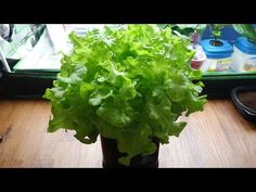 How to Make a Mini Kratky Hydroponic System for Lettuce - YouTube