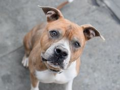 SIR MAX aka MAX – A1095365  MALE, BROWN / WHITE, AM PIT BULL TER / AMER BULLDOG, 10 yrs OWNER SUR – EVALUATE, NO HOLD Reason NYCHA BAN Intake condition UNSPECIFIE Intake Date 10/31/2016, From NY 11434, DueOut Date 10/31/2016,