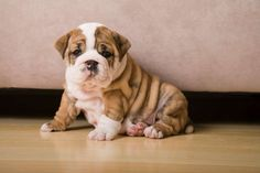 Aww seriously in need of a bulldog puppy fix. Someone find me an english bulldog to cuddle with! Puppies Near Me, Puppies And Kitties, Cute Puppies, Cute Dogs, Doggies, Animals And Pets, Baby Animals, Cute Animals, Fennec