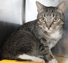 ADOPTED>Intake: 8/24 Available: Now  NAME: Albert  ANIMAL ID: 33295232 BREED: DSH SEX: Neutered Male  EST. AGE: 6 yrs  Est Weight: 9 lbs  Health: Has a broken upper canine  Temperament: Friendly  ADDITIONAL INFO:  RESCUE PULL FEE: $35