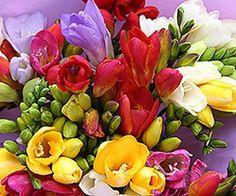 Frézia a tavasz egyik legszebb virága.