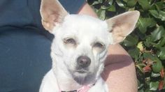 Tinkerbell is an adoptable Chihuahua Dog in Orland, CA. Tinkerbell is a 18 month old female. She was found wondering the streets and she now is living in a foster home. Her foster parents report she i...