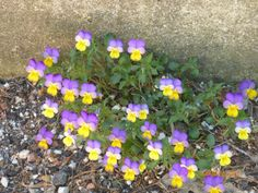 Perky little pansies on the way to see Big Red