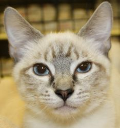 Connor is an adoptable Siamese Cat in Warren, NJ. Connor is an adorable Lynx Point Siamese kitten. He was found living in a backyard scrounging for food when someone saw him and started feeding him. I...