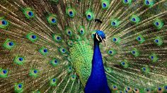 Peacock Wallpaper HD New Tab Peafowl Themes Peacock Wallpaper, Bird Wallpaper, Animal Wallpaper, Nature Wallpaper, Mobile Wallpaper, Peacock Images, Peacock Pictures, Peacock Canvas, Feathers