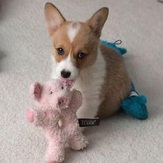ぶた?誰も気にしない。彼らはあなたを気にしないでください。 | Don't Be Sad, Look At These Corgi Puppies