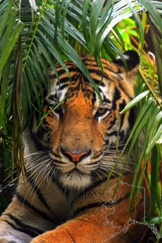 nice pic of a tiger @ Bush Gardens Florida Beautiful Cats, Animals Beautiful, Big Cats, Cats And Kittens, Animals And Pets, Cute Animals, Majestic Animals, Exotic Animals, Ocelot