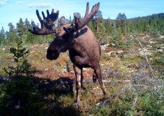 Moose Sollia, Stor-Elvdal, Hedmark, NORWAY Rondane