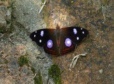 https://flic.kr/p/8vkhX6 | Empress (Cybdelis mnasylus) | Dapa, Valle del Cauca, Colombia 1700 MASL