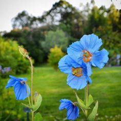 Today is National Public Gardens Day! We tagged our favorite local #garden gems in this photo.  Full list (with some admission discounts): publicgardens.org  Himalayan Blue Poppy (Meconopsis) captured by: @ses_quipedalian