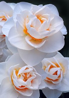 flowersgardenlove:  Double Daffodil by C Flowers Garden Love