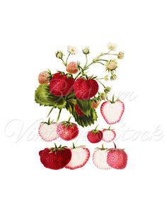 Strawberries Vintage Image, Strawberry Clipart Strawberries Graphic for print, digital artwork, Wall decor - INSTANT DOWNLOAD 2548