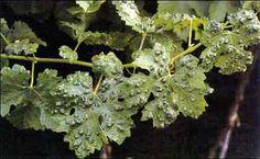 Eriophyes vitis : άκαρι που προκαλεί την Ερίνωση της αμπέλου.