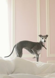 Italian Greyhound - such a beautiful dog and they can be trained to use a litter box! Now that's my kind of dog :)