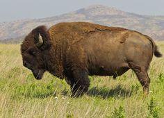 Bisonte americano (Bison bison) en las llanuras estadounidenses.
