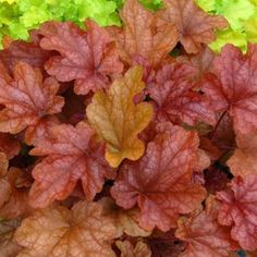 Buy Heuchera Peach Flambe Perennial Plants Online. Garden Crossings Online Garden Center offers a large selection of Coral Bells Plants. Shop our Online Perennial catalog today!