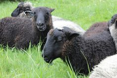 Summer sheep Archipelago, Finland, Sheep, Goats, Cow, Fishing, Villa, Punk, Country