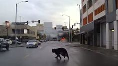 Bear Leads Police On Wild Chase Through The Streets Of Anchorage, Alaska