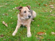 Terrier Schäferhund Mischling