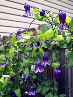 Beyond the Hostas   Fine Gardening: Clematis 'Rooguchi'