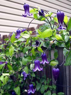 Beyond the Hostas | Fine Gardening: Clematis 'Rooguchi'