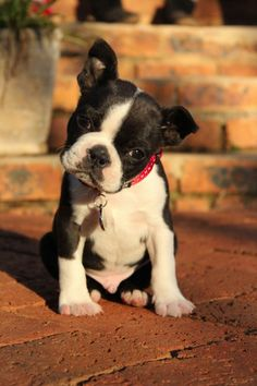 What a little cutie. This Boston Terrier is adorable. PP: Boston Terrier Puppy - A Place to Love Dogs - my fave dog in the whole world (I have TWO of them)! Cute Puppies, Cute Dogs, Dogs And Puppies, Bulldog Puppies, Beagle Puppy, Mastiff Dogs, Terrier Breeds, Dog Breeds, Terrier Dogs
