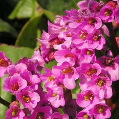 Bergenia Bartok - Plante des savetiers