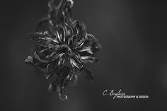 Withering by Carrie Bayless on the CMpro Daily Project, a group photography blog for photographers