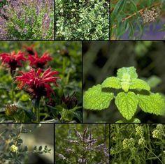 Abwarten und Teetrinken, Leckere Teekräuter - Pflanzenpakete :: Syringa Pflanzen