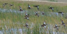 A spring of teal, (H. Rufe) field trip to Viera Wetlands in Jan. 2009.