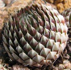 Orostachys spinosa / Dunce Cap